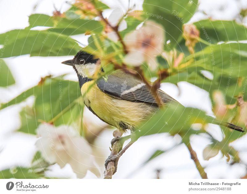 Kohlmeise zwischen Blüten und Blättern Natur Pflanze grün weiß Baum Erholung Tier Blatt schwarz gelb Auge natürlich orange Vogel leuchten