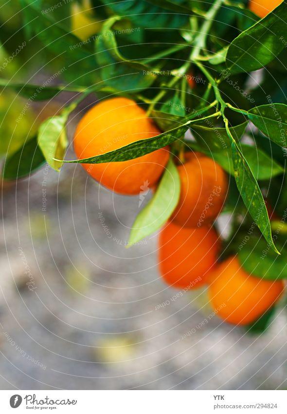 Orange Tree Natur grün Sommer Pflanze Baum Blatt Umwelt Garten Gesundheit orange Park Feld Erde Wachstum leuchten