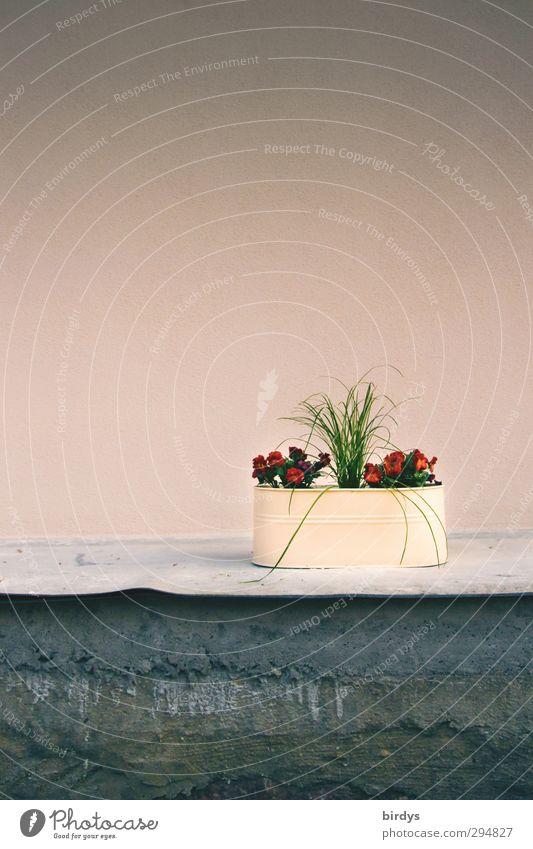 Altrosa Stil Design Pflanze Blume Topfpflanze Mauer Wand ästhetisch schön Kitsch positiv Sauberkeit grau Kreativität 1 Blumenkasten Stillleben einfach