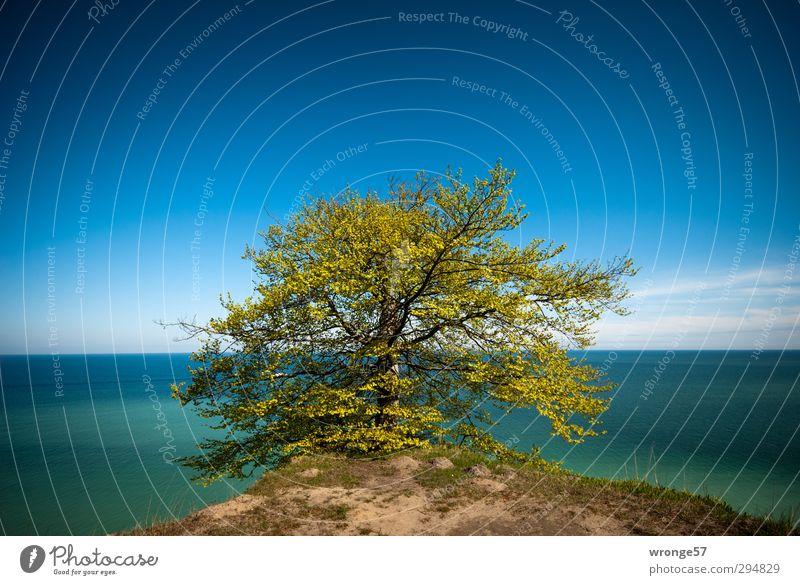 Baum am Kliff II Natur Landschaft Pflanze Himmel Wolkenloser Himmel Horizont Frühling Schönes Wetter Küste Ostsee Insel Rügen Kreidefelsen Deutschland blau grün