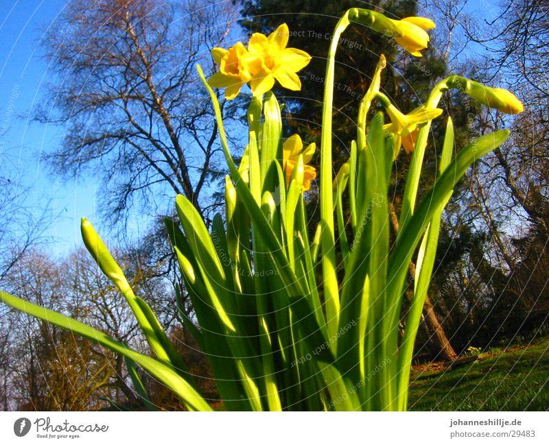Der Frühling kommt Sonne Blume Blauer Himmel April Narzissen Maiglöckchen Gelbe Narzisse