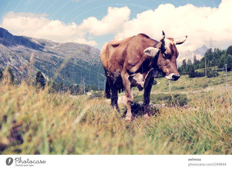 Bernina Cow Ferien & Urlaub & Reisen Tourismus Ausflug Sommer Sommerurlaub Berge u. Gebirge wandern Natur Alpen Tier Nutztier Kuh 1 ruhig Engadin Berninapass