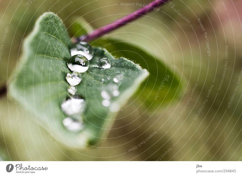 Tautropf II Natur Pflanze Wasser Wassertropfen Sommer schlechtes Wetter Blatt Grünpflanze Wildpflanze Alpen Flüssigkeit frisch Gesundheit gut nah nass grün