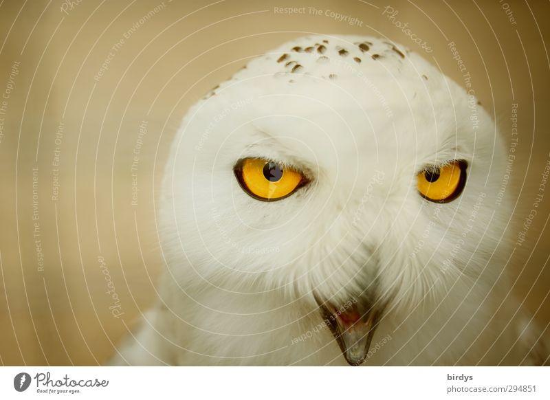 Man sieht sich Wildtier Tiergesicht Eulenvögel Eulenaugen Schnee-Eule 1 beobachten leuchten Blick ästhetisch bedrohlich exotisch gelb weiß schön Farbe Präzision