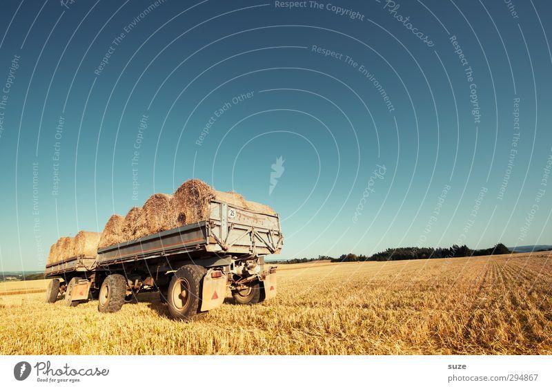 Der Alte und das gelbe Meer Getreide Sommer Landwirtschaft Forstwirtschaft Umwelt Natur Landschaft Himmel Horizont Schönes Wetter Wärme Nutzpflanze Feld