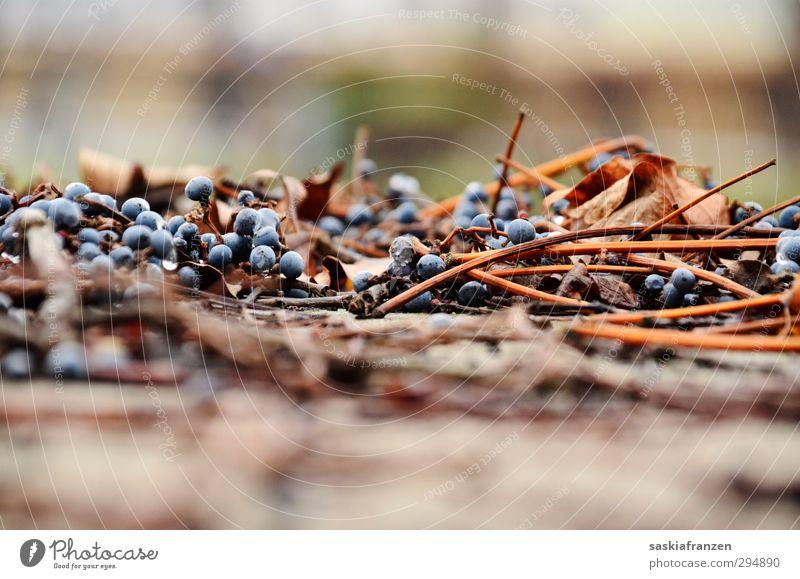 Versuchung. Frucht Wein Natur Pflanze Herbst Winter Wetter schlechtes Wetter Nebel Regen Sträucher Blatt Nutzpflanze Park kalt braun Farbfoto Gedeckte Farben