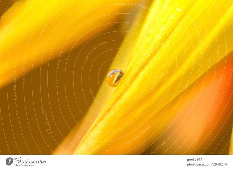 Gelbe Perle (Nr.400) Ausflug Umwelt Natur Pflanze Tier Wasser Wassertropfen Frühling Sommer Herbst Blume Blatt Blüte exotisch Garten Park Wiese authentisch