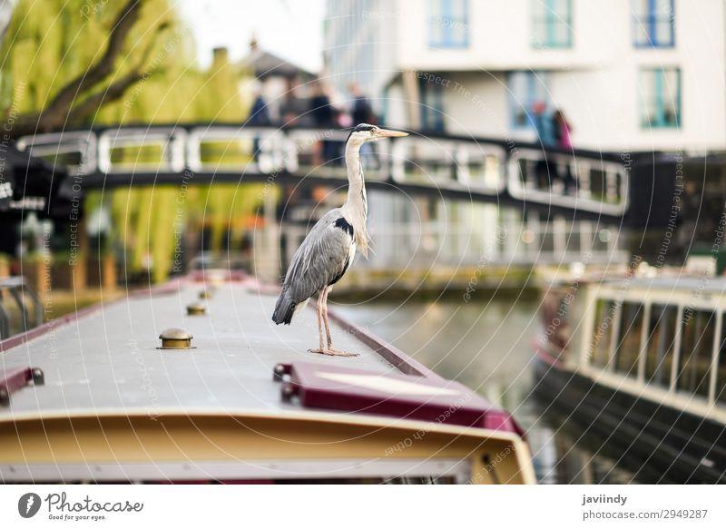 Reiher oder ardea cinerea in Klein-Venedig, Camden Stadt Ferien & Urlaub & Reisen Tourismus Sightseeing Tier Herbst Fluss Brücke Wasserfahrzeug Vogel klein wild
