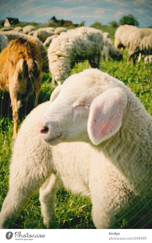 Lamm in der Herde auf frischer Weide. Ostern. Osterlamm Schafherde Landwirtschaft Natur Frühling Sommer Schönes Wetter Wiese Nutztier Tiergruppe Tierjunges