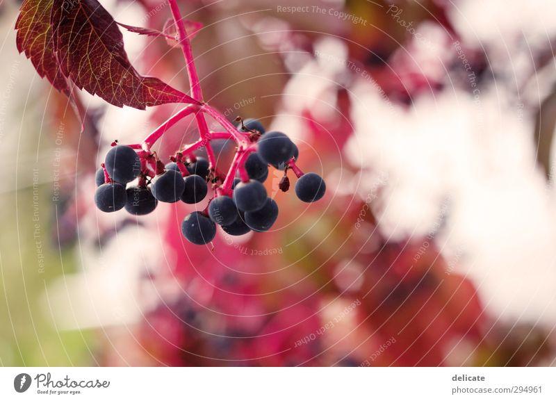 Beeren Natur blau grün schön weiß Sommer Pflanze rot Blatt Herbst Frühling Garten rosa rund Beeren Vogelbeeren