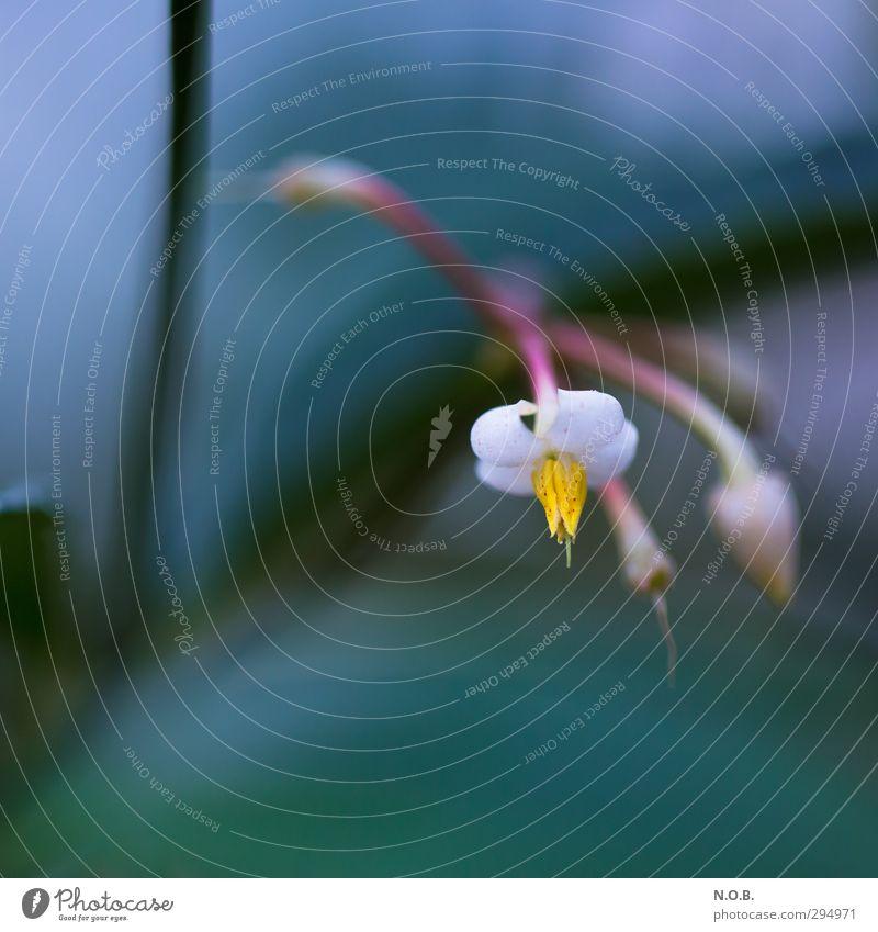 Gute Nacht Natur Pflanze Blume Orchidee Blüte Müdigkeit ästhetisch Duft Frieden Gefühle geheimnisvoll träumen Farbfoto Nahaufnahme Menschenleer
