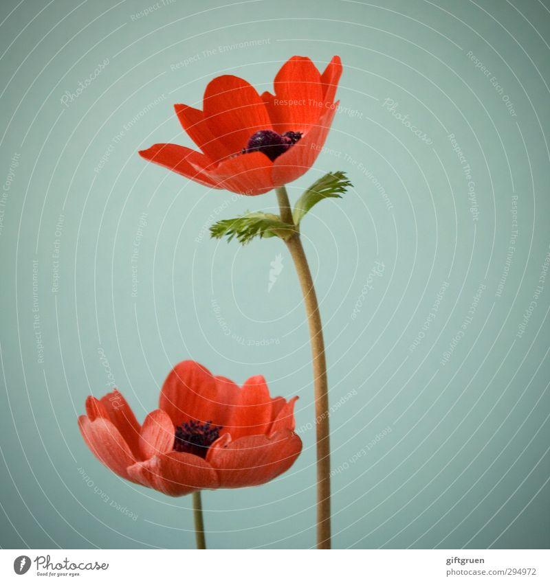...no spring skips its turn Natur Pflanze Frühling Blume Blatt Blüte Blühend Mohn Blütenpflanze Blütenblatt Stengel 2 paarweise rot Klatschmohn Frühlingsblume