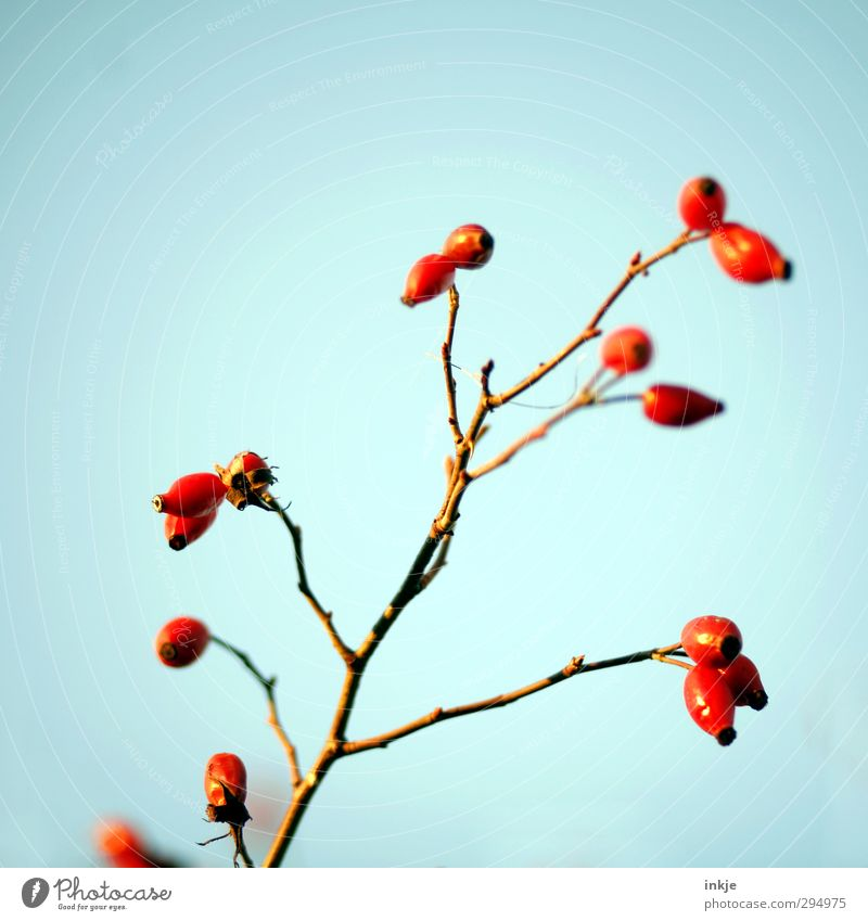 Farbe ! Himmel Wolkenloser Himmel Herbst Pflanze Wildpflanze Hagebutten Zweig Frucht dick dünn frisch Gesundheit lang blau rot Natur Wachstum Reifezeit reif