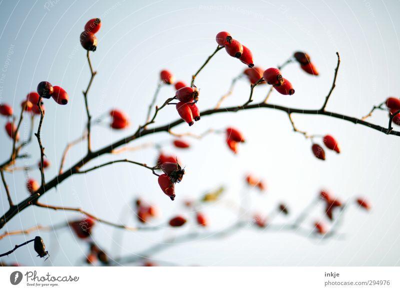 Farbe ! Herbst Sträucher Wildpflanze Hagebutten Zweig Wachstum dick dünn lang natürlich rot Natur Frucht Fruchtstand kahl verzweigt Bogen Farbfoto Außenaufnahme