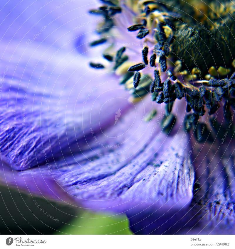 blauviolette Anemone Anemonen anders außergewöhnlich Blütenblätter romantisch blühende Anemone Blütenblatt Frühlingsblume Blume Blühend nah