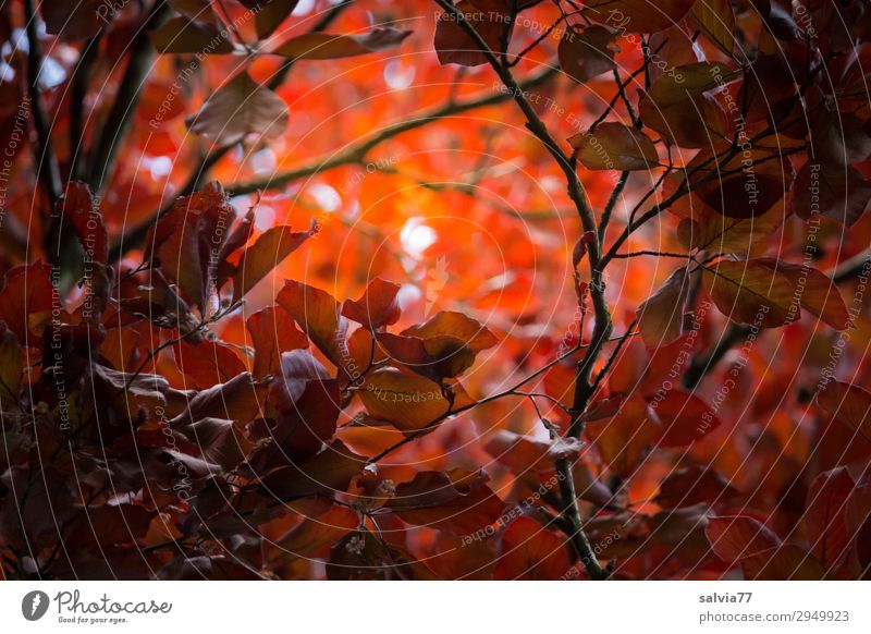 Lichtblick Umwelt Natur Pflanze Herbst Baum Sträucher Blatt Zweige u. Äste Buche Herbstfärbung Blutbuche Park Wald Schutz Hoffnung Glaube Farbfoto Außenaufnahme