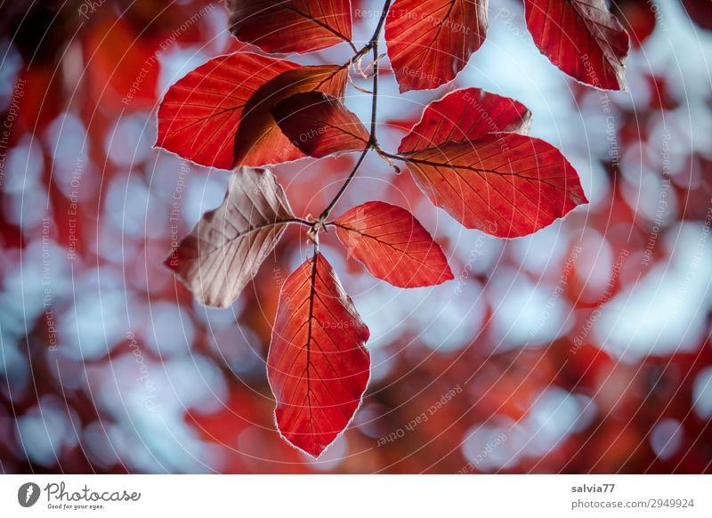 luftig | Blätter im Wind Umwelt Herbst Pflanze Baum Blatt Zweig Buche Herbstfärbung Park Wald Bewegung Vergänglichkeit Wandel & Veränderung Farbfoto