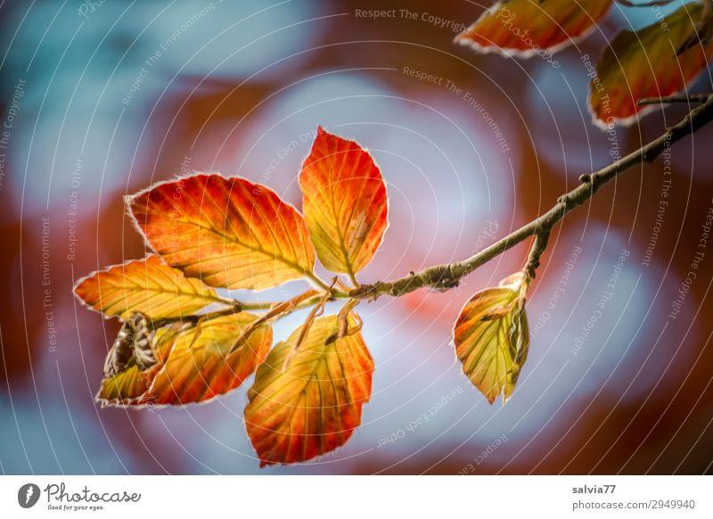 leuchtende Blätter Umwelt Natur Pflanze Himmel Herbst Klima Baum Blatt Buche Buchenblatt Zweige u. Äste Park Wald Wachstum Wandel & Veränderung Herbstfärbung