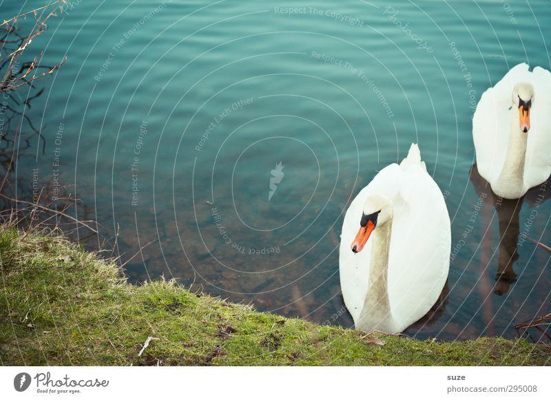 Heimkehr Natur blau grün schön Wasser weiß Tier Umwelt Wiese Gras See Stimmung Vogel Tierpaar Wildtier ästhetisch