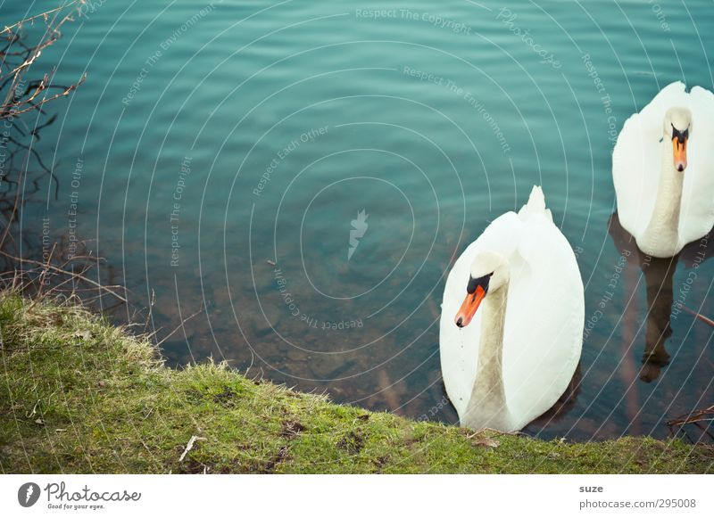 Heimkehr schön Umwelt Natur Tier Wasser Gras Wiese Seeufer Wildtier Vogel Schwan 2 Tierpaar Brunft beobachten ästhetisch blau grün weiß Stimmung Feder