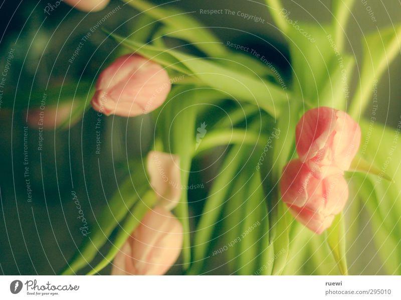 One tulip never made a spring Natur grün schön Sommer Pflanze Blatt Umwelt Liebe Frühling Blüte Garten rosa Raum Wohnung Wachstum Häusliches Leben