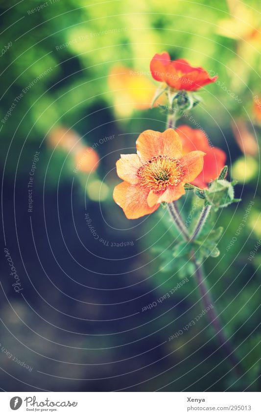 Orange und Grün Pflanze Blume Blatt Blüte Blühend grün orange Zufriedenheit Schönes Wetter natürlich Lebensfreude schön Frühlingsgefühle Farbe Gefühle Wachstum