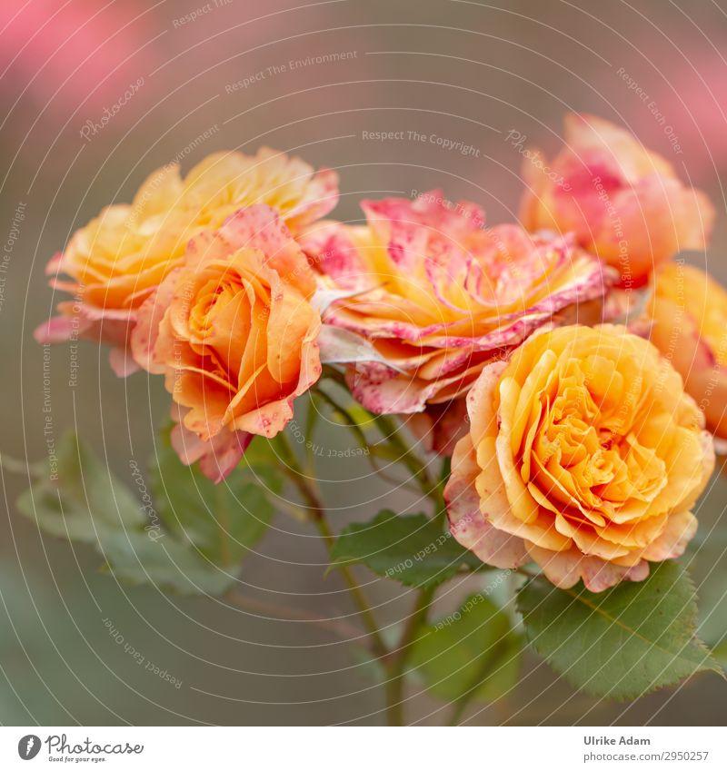 Orange Rosen - Blumen elegant schön Wellness Leben harmonisch Wohlgefühl Zufriedenheit Sinnesorgane Erholung ruhig Meditation Spa Tapete Feste & Feiern