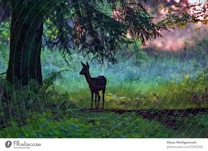 Im Morgengrauen Umwelt Natur Sommer Herbst Baum Farn Wurmfarn Wald Wildtier Tiergesicht Fell Reh 1 beobachten stehen ästhetisch wild blau grün Frieden ruhig