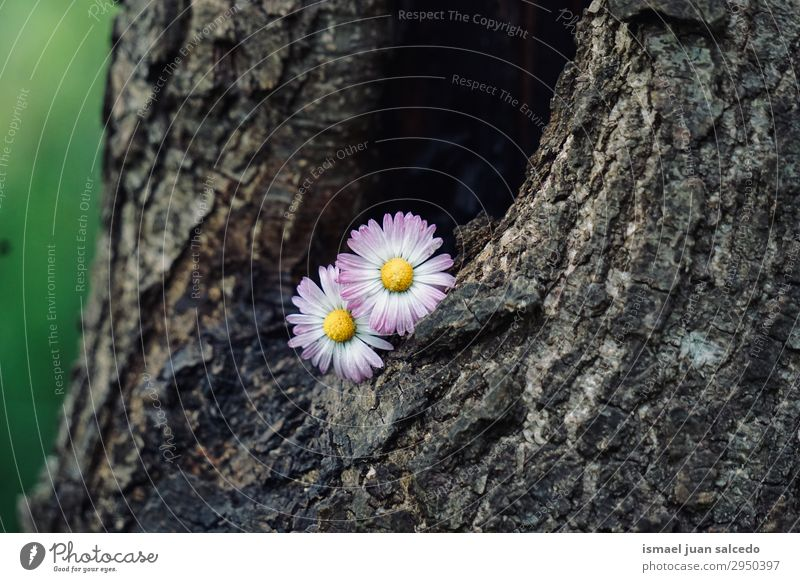 Gänseblumenpflanze auf dem Stamm in der Natur Korbblütengewächs Gänseblümchen Blume weiß Blütenblatt Pflanze Garten geblümt Dekoration & Verzierung Romantik