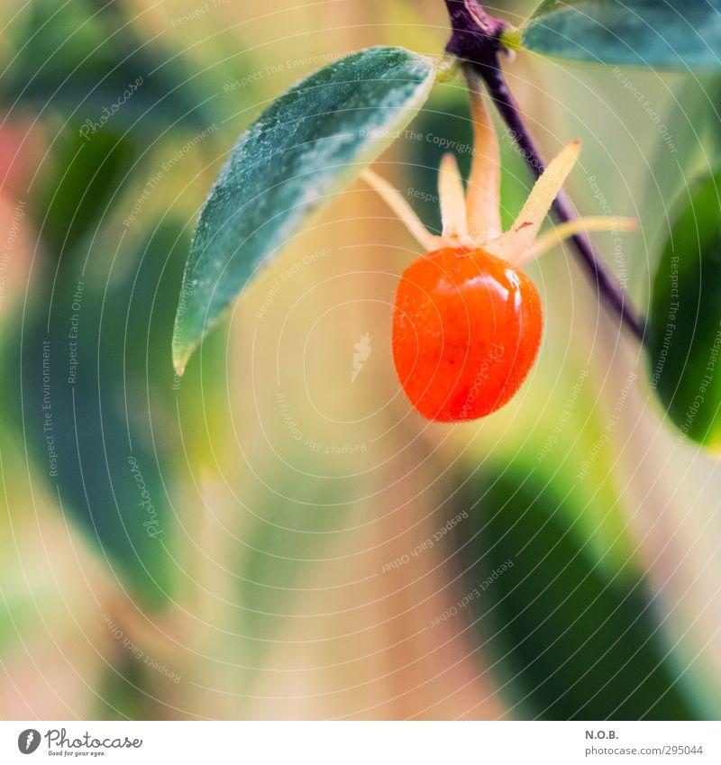 etwas rundes rotes Natur Pflanze Blatt Sträucher lecker Beeren Grünpflanze