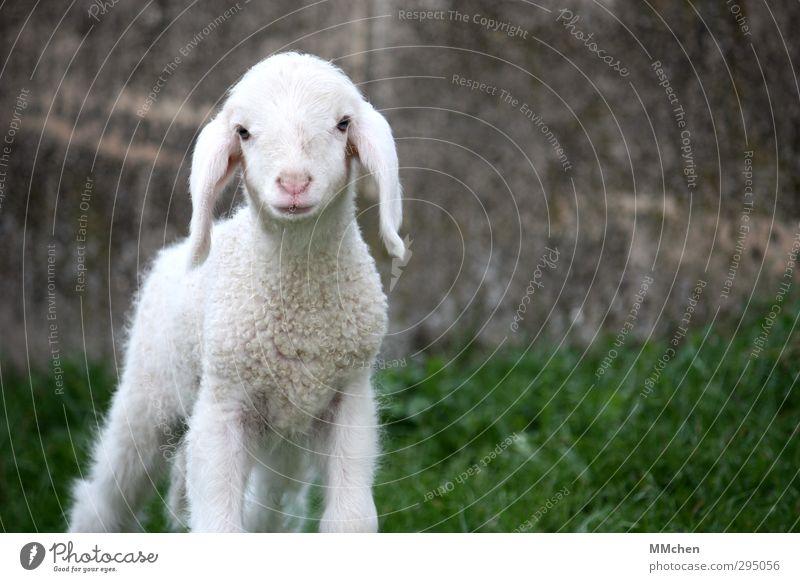 :) Fleisch Bioprodukte Landwirtschaft Forstwirtschaft Natur Frühling Sommer Gras Wiese Tier Haustier Nutztier Tiergesicht Lamm Schaf 1 Tierjunges beobachten