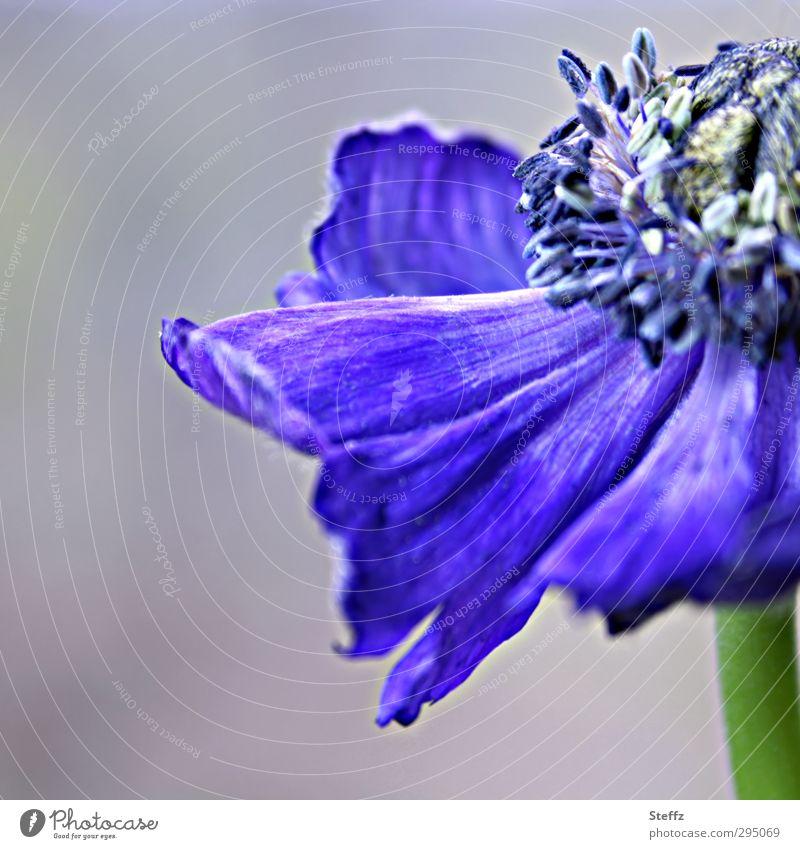 violettblaue Anemone Kronen-Anemone Anemonen Blüte blühende Anemone verblüht vergänglich Vergänglichkeit blühende Blume blaue Blume Frühlingsblume dunkelblau