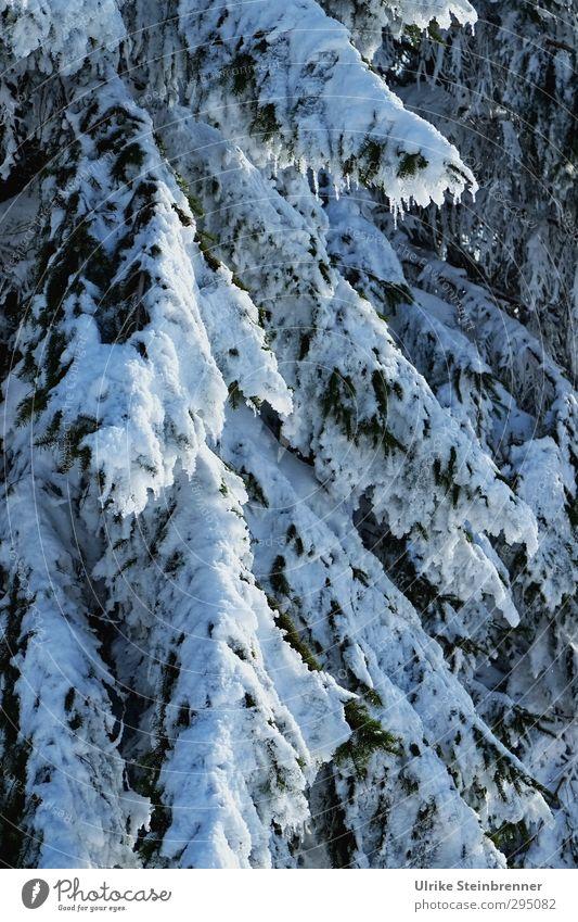 Von wegen.... Umwelt Natur Pflanze Winter Klima Schönes Wetter Eis Frost Schnee Baum Zweig Tanne Tannenzweig Wald frieren hängen kalt nass natürlich grün weiß