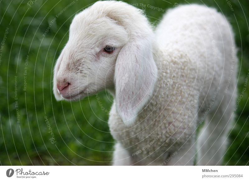 :)) Ernährung Natur Frühling Wiese Tier Streichelzoo Schaf Lamm 1 Tierjunges füttern Wachstum Fröhlichkeit grün weiß Fleisch Fell Ohr niedlich Hängeohr Frieden