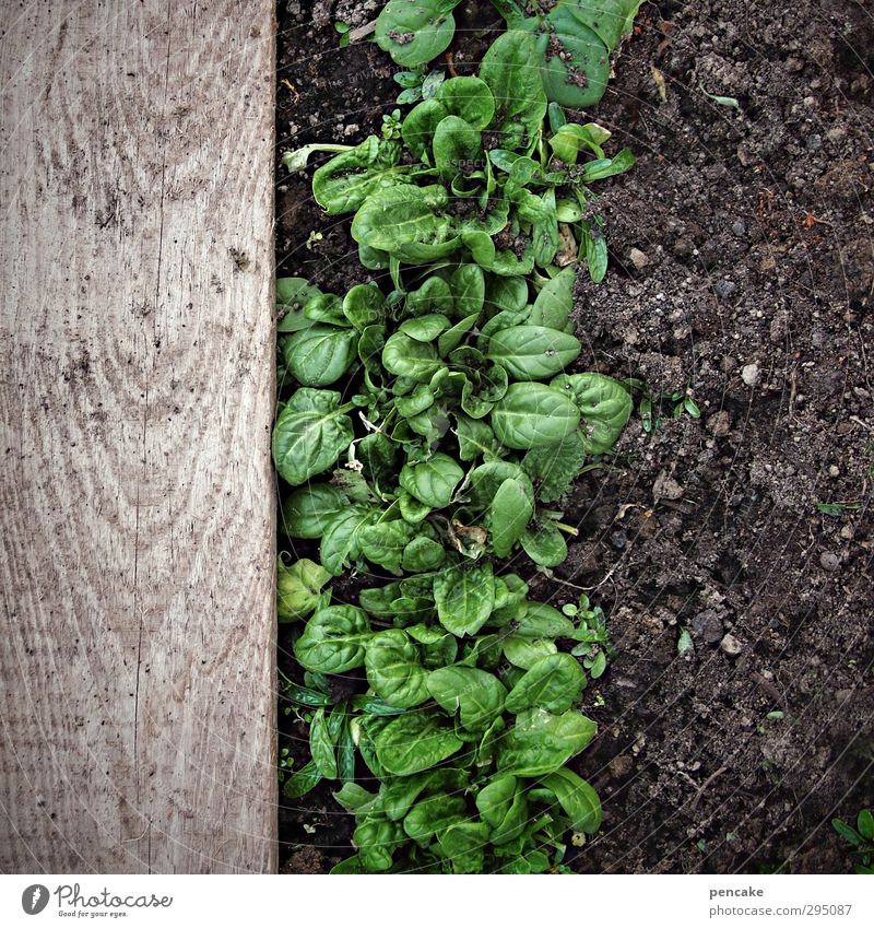 starkmacher Lebensmittel Gemüse Salat Salatbeilage Natur Pflanze Erde Frühling Eis Frost Blatt Garten Feld Holz Energie Erfahrung Erfolg Zufriedenheit Spinat