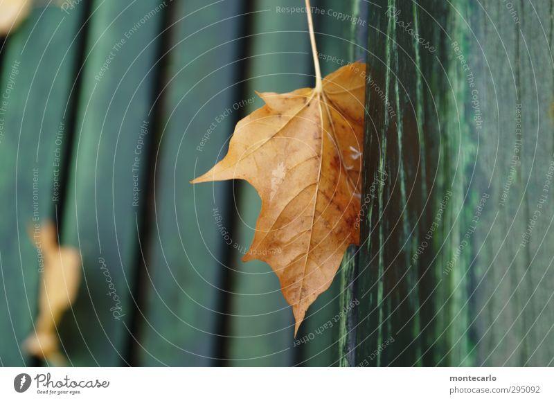 Platzhalter Umwelt Natur Pflanze Herbst Blatt Grünpflanze Wildpflanze Holz Bank dünn authentisch einfach trist trocken braun grün Farbfoto mehrfarbig