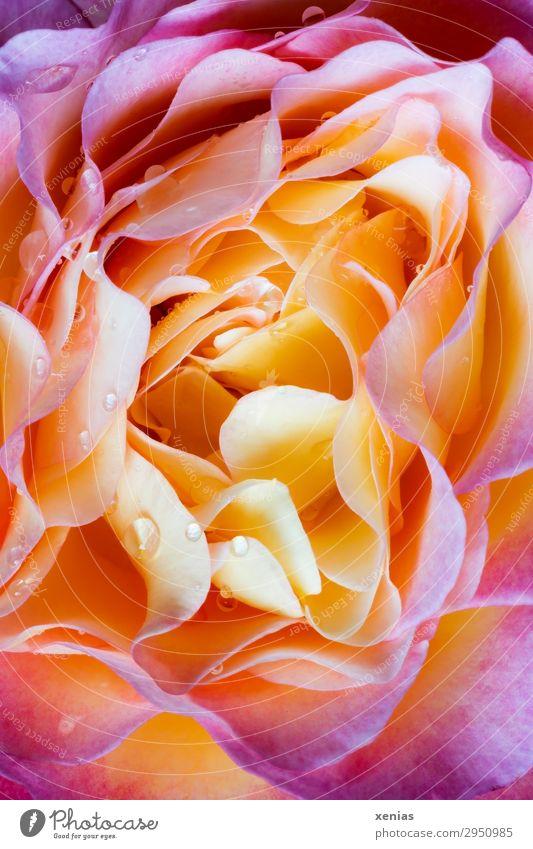 Rosenblüte mit Wassertropfen Sommer Herbst gelb Blüte orange rosa leuchten Blühend Vergänglichkeit Duft