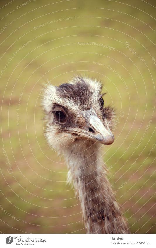 Moin Sommer Wiese Tiergesicht Zoo Strauß Laufvogel 1 beobachten Blick Freundlichkeit lustig positiv schön Zufriedenheit Tierliebe Natur Emu Hals Auge Australien