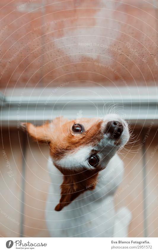 süßer kleiner Hund sitzt am Fenster. Regentag Lifestyle schön Winter Haus Raum Tier Wassertropfen Wolken Gewitterwolken Frühling Herbst Wetter Haustier 1
