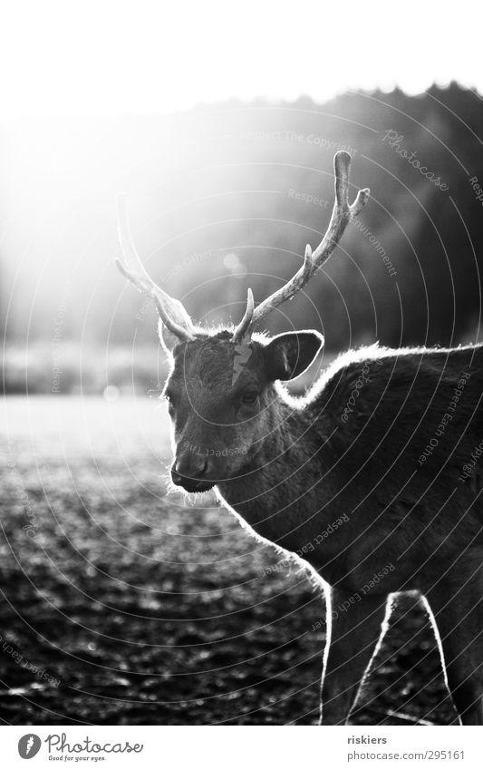 glowing deer Natur Sonne Tier ruhig Umwelt Wiese Herbst Frühling außergewöhnlich Feld Kraft glänzend Wildtier elegant warten leuchten
