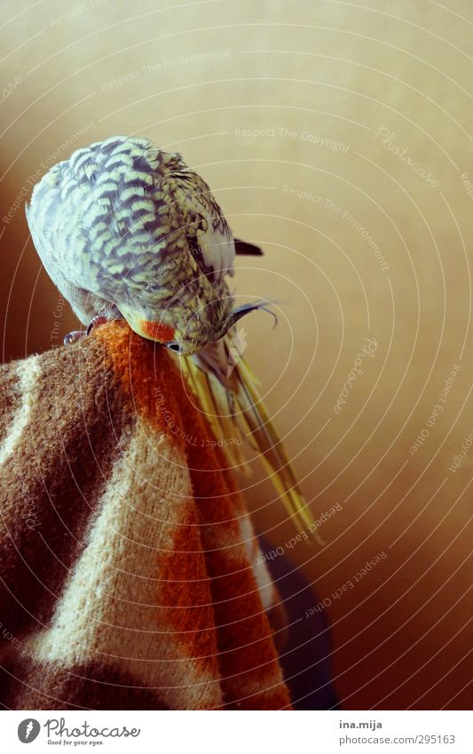 kleiner liebling II Tier schwarz Essen braun Vogel orange gold Feder Reinigen Sauberkeit Haustier Körperpflege sanft scheckig gefiedert Papageienvogel
