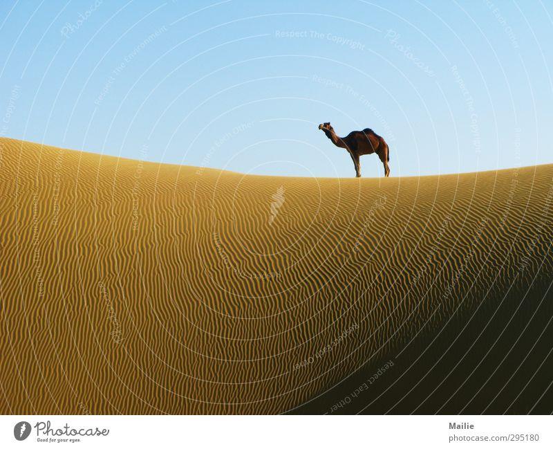 Wüstenschönheit Natur Himmel Horizont Wärme Dürre Tier Kamel 1 träumen warten frei wild Einsamkeit Stolz Freiheit ruhig Unendlichkeit Ferne Farbfoto