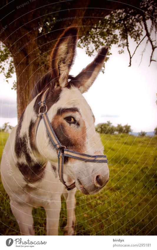 Hast DU etwa mein Apfel ? Natur schön Sommer Baum Tier Wiese lustig Denken Schönes Wetter beobachten Neugier Nutztier unschuldig Esel scheckig Misstrauen