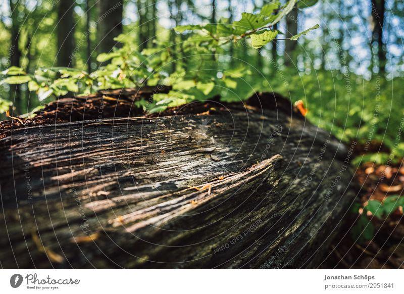 Sonnenstrahlen auf Baumstamm im Wald Natur Pflanze grün Landschaft Holz Frühling liegen Wachstum Ast Zweig Umweltschutz Sachsen Naturschutzgebiet Mai