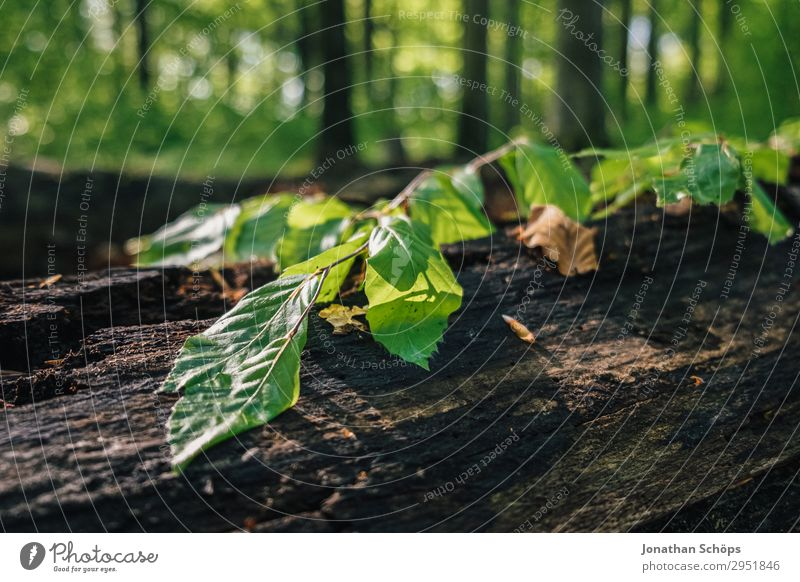 Blätter auf einem Baumstamm im Wald Natur Landschaft Pflanze Frühling Wachstum grün Mai Sachsen Sonnenstrahlen Blatt Zweig Licht Naturschutzgebiet Umweltschutz