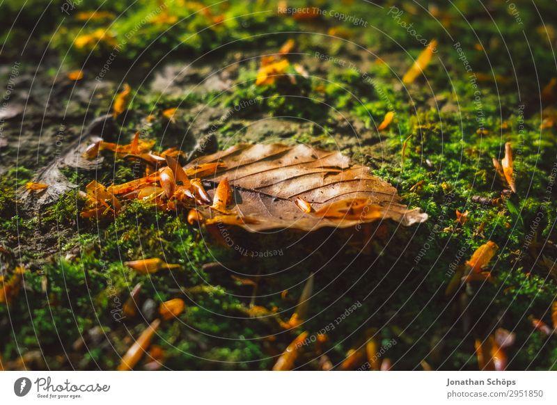 Laubblatt auf Moos im Wald Natur Pflanze grün Landschaft Herbst Frühling Wachstum Boden Herbstlaub Sachsen Waldboden