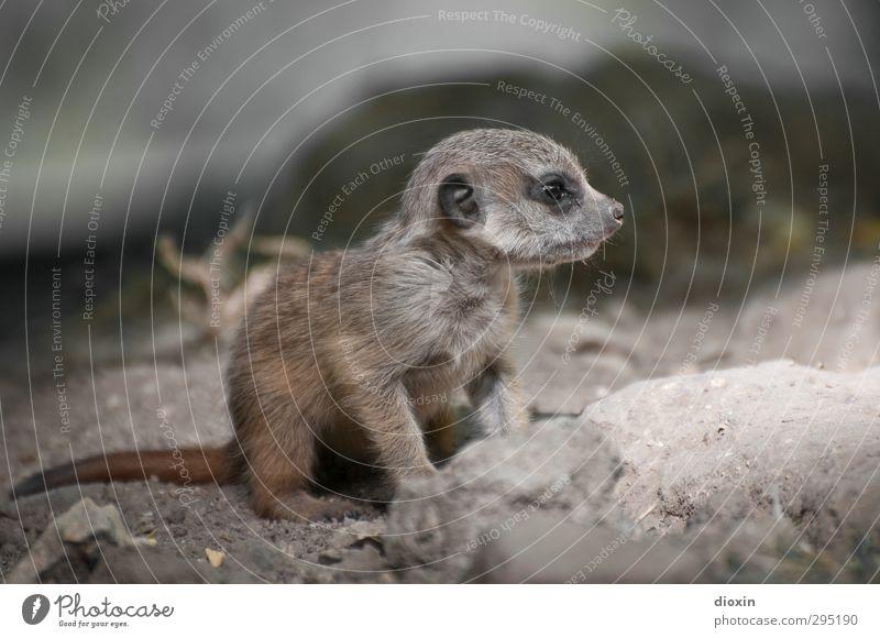 cute Natur Tier Tierjunges klein Wildtier sitzen warten niedlich Zoo frech kuschlig Krallen Erdmännchen