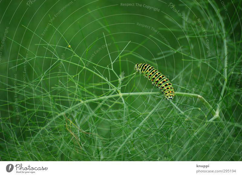 die kleine Raupe Nimmersatt Natur Pflanze Tier Sonnenlicht Frühling Sommer Schönes Wetter Blatt Grünpflanze Fenchel Garten Wildtier Schmetterling Insekt 1