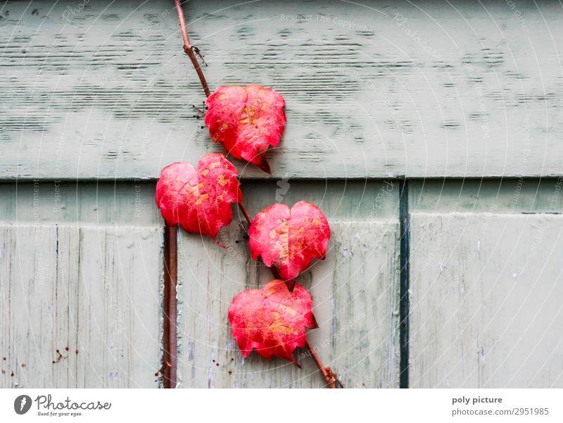 rote Blätter vom wilden Wein an einer Holztür Umwelt Natur Landschaft Pflanze Sommer Herbst Grünpflanze Wildpflanze Wachstum Wandel & Veränderung Jahreszeiten