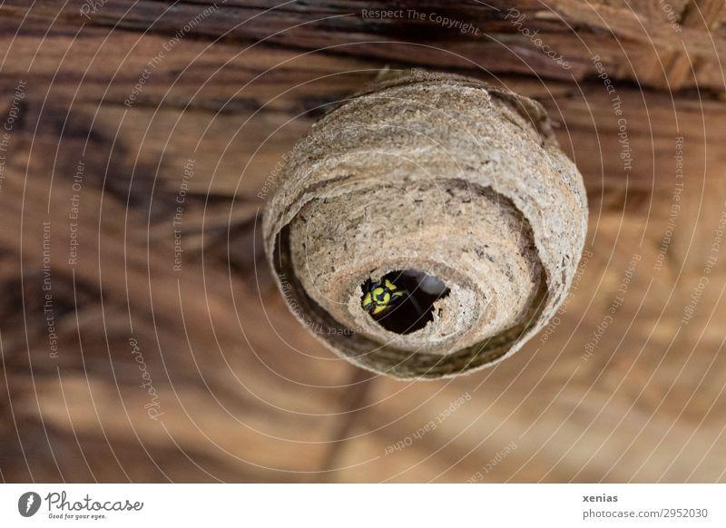 Wespe im Wespennest Sommer Tier schwarz gelb Frühling braun Häusliches Leben Wildtier Insekt bauen fleißig